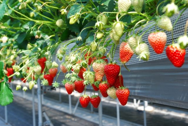 のか イチゴ な は 野菜 イチゴ栽培☆追肥(肥料)時期